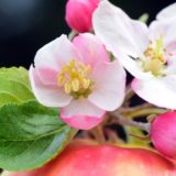 Sebastopol Apple Blossom Festival (Photo of Apple Blossoms).