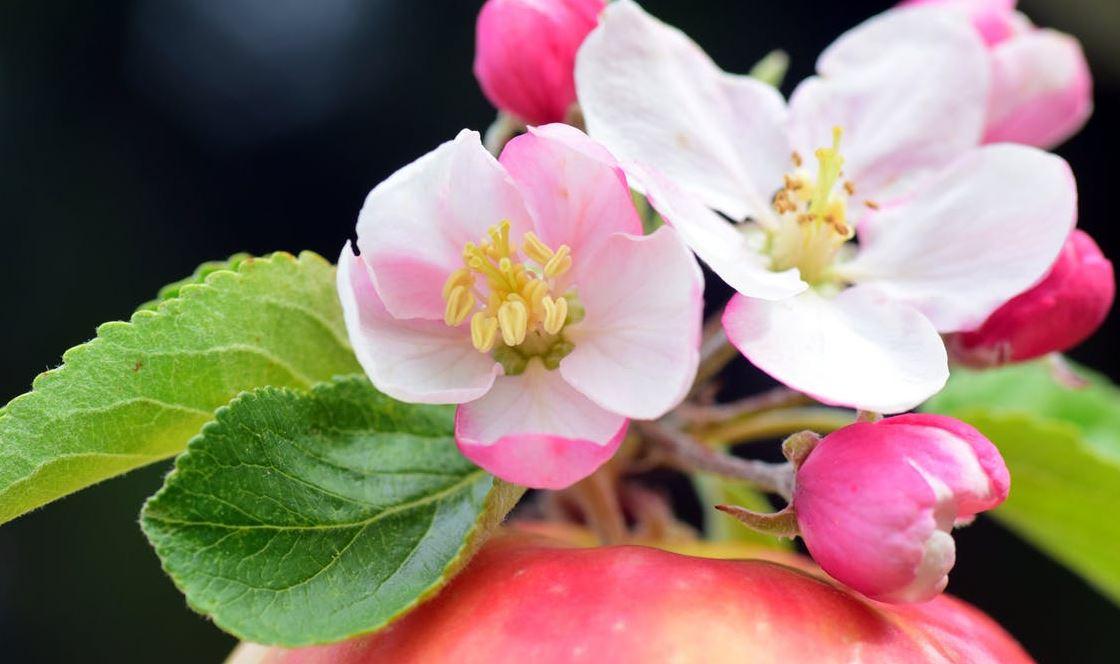 Sebastopol Apple Blossom Festival (Photo of Apple Blossoms).
